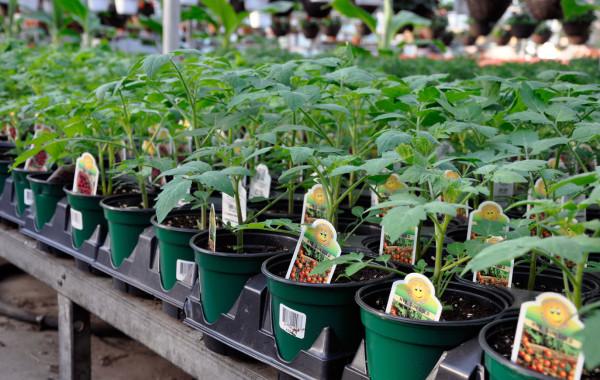 Plants de tomates cerises