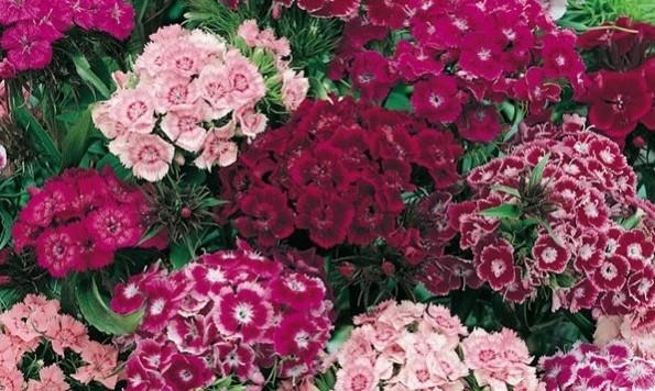 Dianthus (Oeillet)