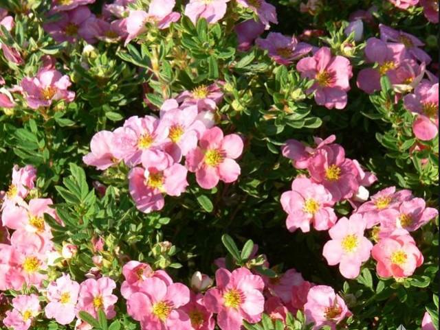 Potentille Pink Beauty