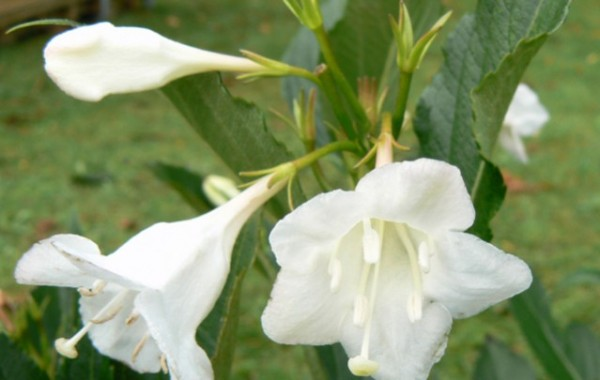 Weigela White Poppet